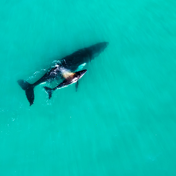 Humpback whale and calf are regular visitors to the coast around Broome.